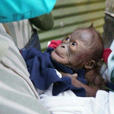 Bayi Orangutan Lahir di GL Zoo Yogyakarta